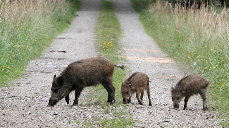 Tre vildsvin på jakt efter något ätbart (arkivbild). Foto: Matthias Schrader / Scanpix