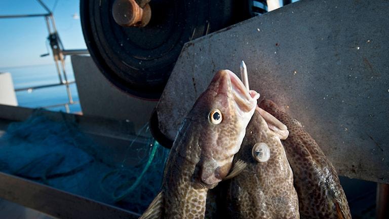 Torskfiske i Grisslehamn Foto: Yvonne Åsell / SvD / Scanpix
