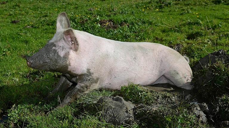 En gris som bökat i jorden (arkivbild). Foto: Kerstin Joensson/TT