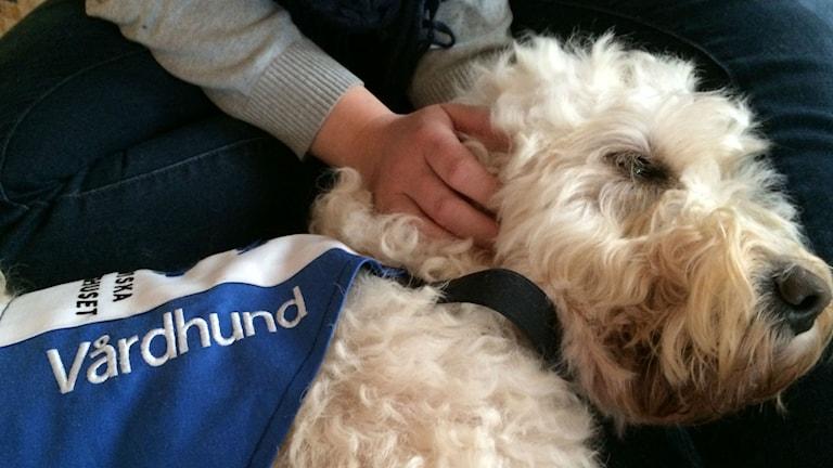 Vårdhunden Livia i knät på P4 Morgons Mona Wahlund. Foto: Ann Edner