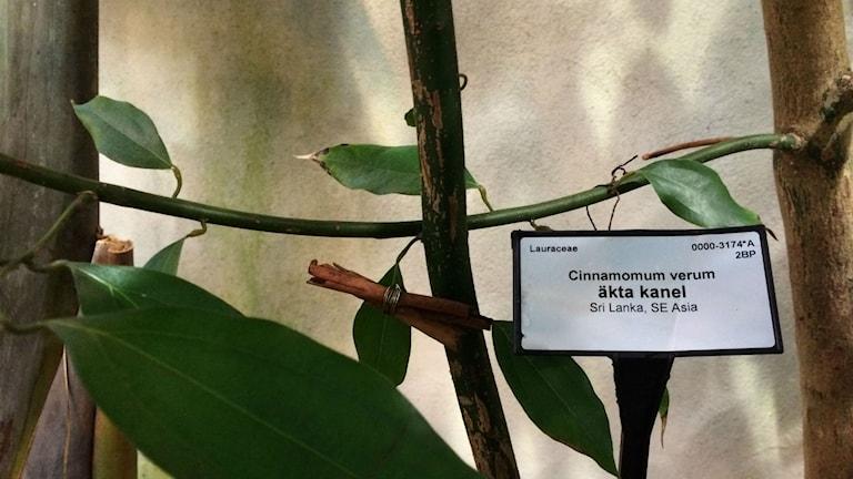 Kanelträd i Viktoriasalen i Botaniska trädgårdens tropiska växthus. Foto: Mona Wahlund.