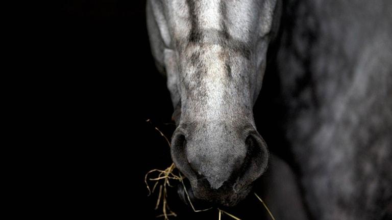 Häst i närbild. Foto: Fernando Llano/AP