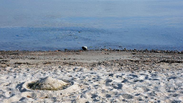 Sandstrand med tång i Östersjön. Foto Hasse Holmberg /TT Scanpix