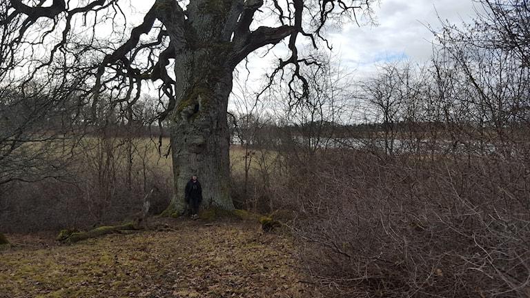Emil V Nilsson vid den gigantiska eken vid Hammarskog. Foto: Mattias Persson/Sveriges Radio