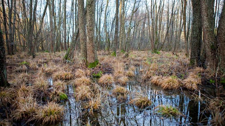 Våtmark i Orlångens naturreservat i Huddinge