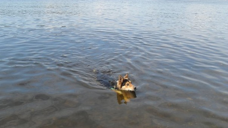Hund som simmar.
