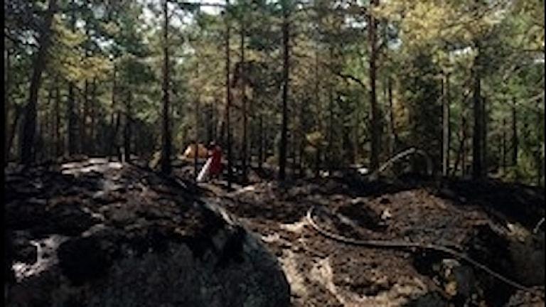 Brandman jobbar med eftersläckning vid skogsbranden i Järlåsatrakten.