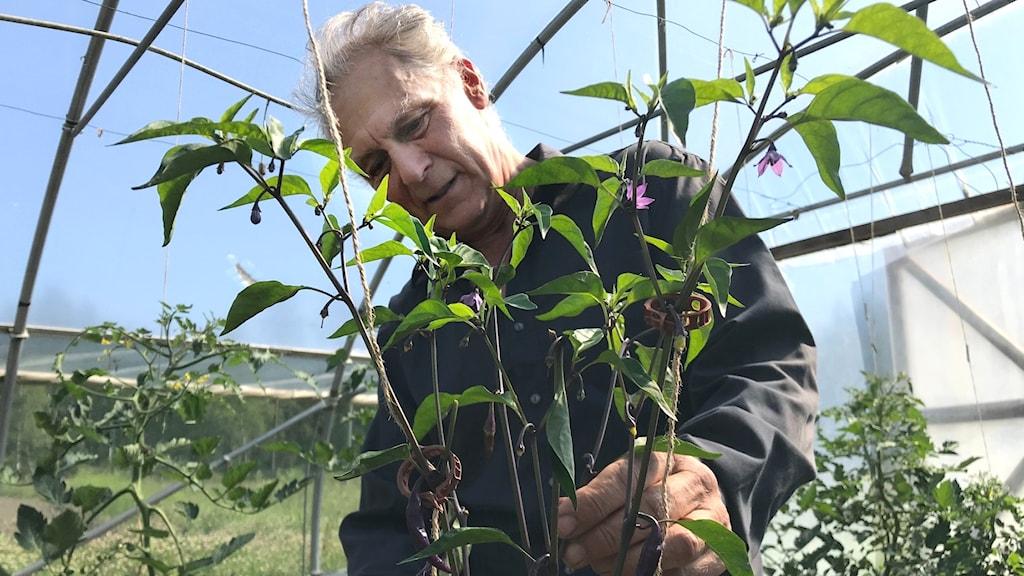 En man i ett växthus sitter vid en växt och fipplar och donar.