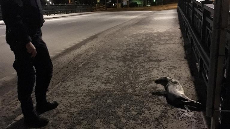 Sälen motades bort av polis, men dök upp igen.