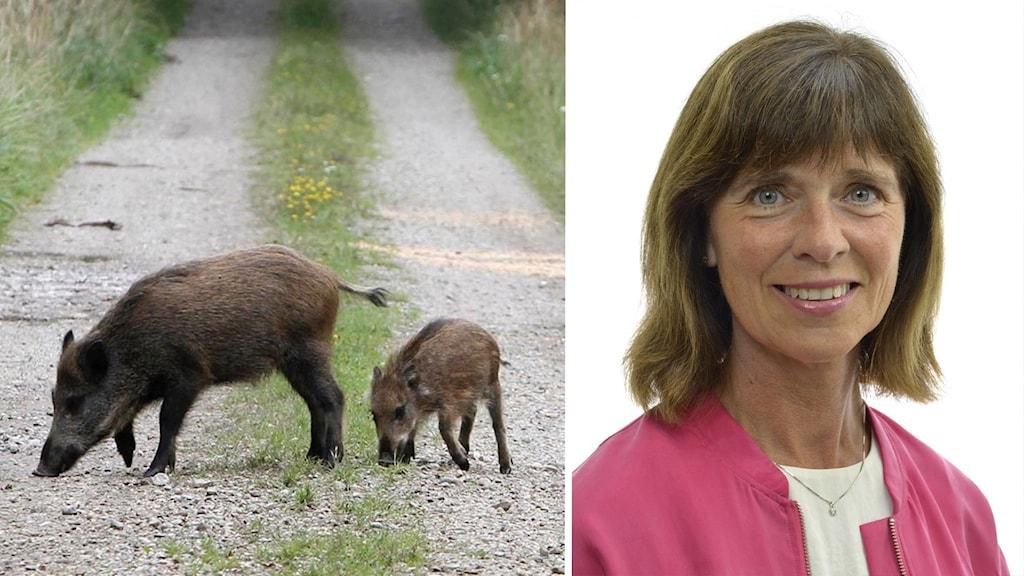 Till vänster ser du bild på en brun vildsvinsmamma. Hennes unge nosar på gruset bakom henne. Till vänster ser du riksdagsledamoten Ulrika Heie. Hon har rosa jacka på sig och en vit t-shirt under. Hon ler på bilden och visar tänderna.