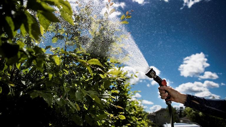 En tomtägare vattnar i sin trädgård med en vattenslang.