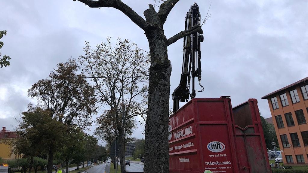 Döda träd fälls i Uppsala.