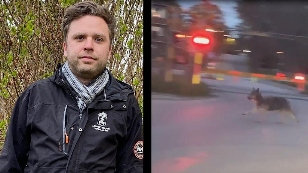 Sebastian Olofsson som är vilthandläggare på länsstyrelsen i Uppsala län och en varg.