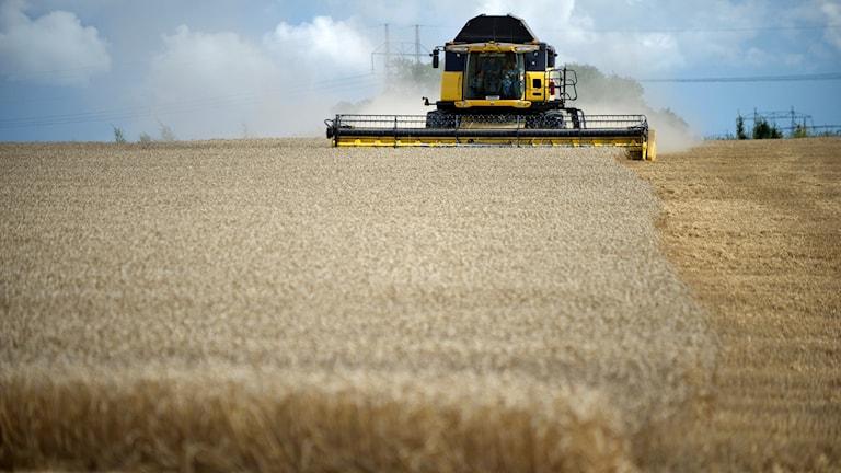 Skördetröska tröska lantbruk