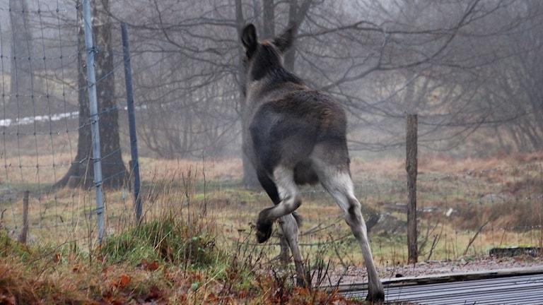 Klövdjur på spårområdet mellan Enköping och Grillby kostar miljonbelopp