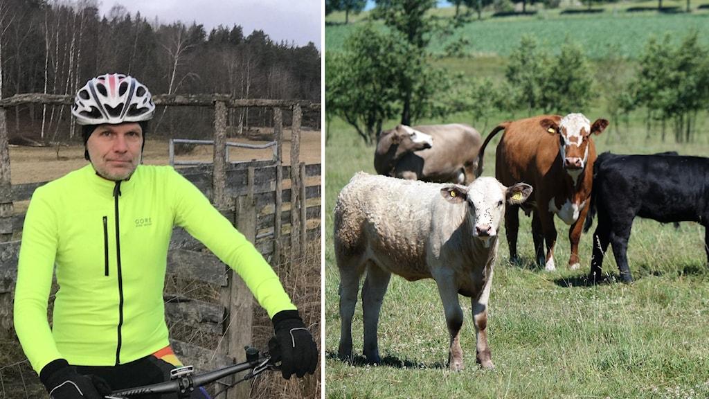 Man på cykel och kor på grön äng.