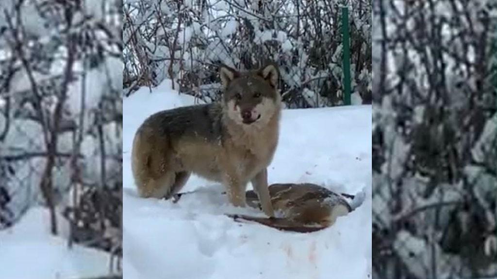 Eventuell varg i Tierp som tagit ett rådjur.