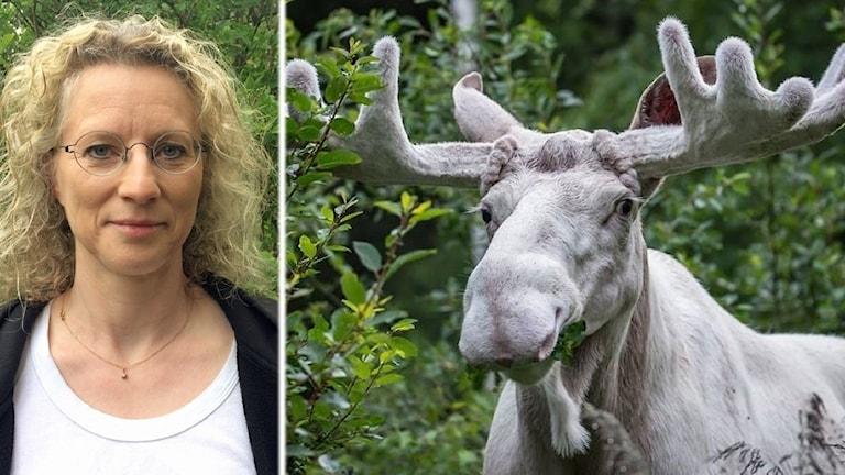 Sofia Mikko, fotomontage med den vita älgen.