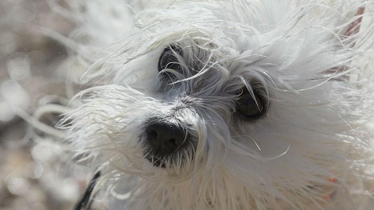 hundbild