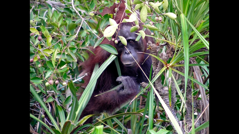 Vetenskapsradion Klotet om palmoljeplantager - en tsunami från ovan  En vild orangutang som sitter fast mellan en flod och de milsvida palmoljeplantager som ger oss billigt fett till kakor och schampon.  Foto: Rainforest Action Network (CC BY-NC 2.0)