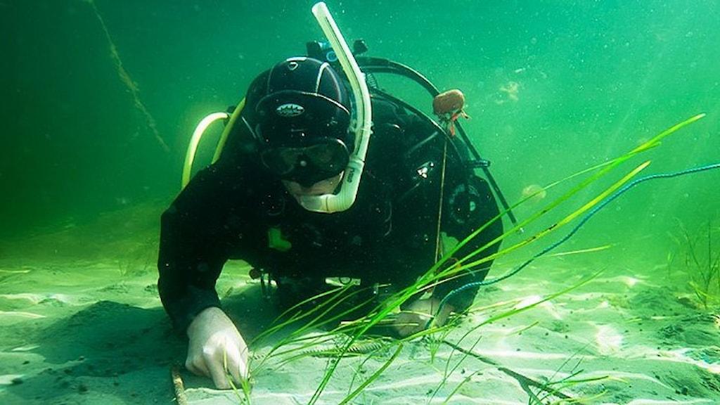 Dykare planterar ut ålgräs