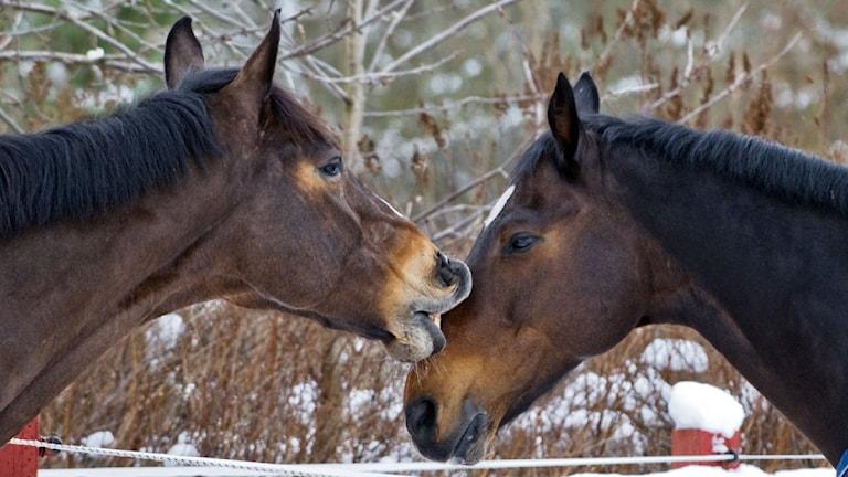Två hästar. Foto: Lars Pehrson/Scanpix