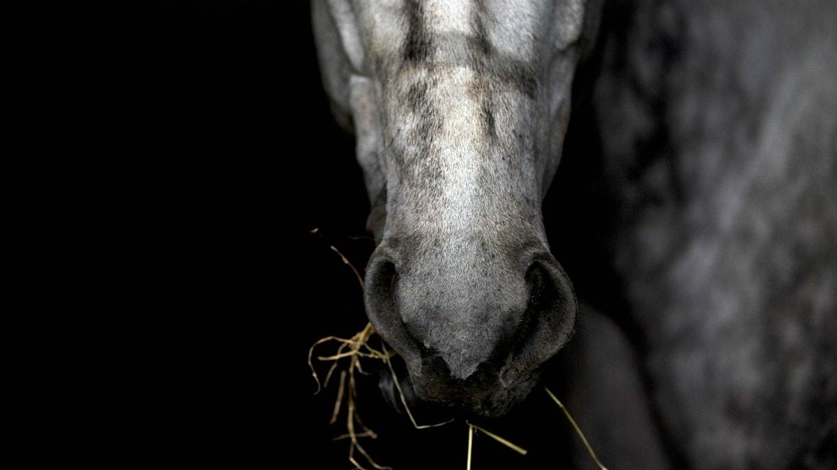 En häst tuggar hö. Foto: Fernando Llano/TT