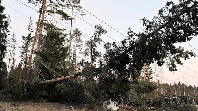 Nedfallna träd och elledningar. Foto: Tommy Andersson/TT.