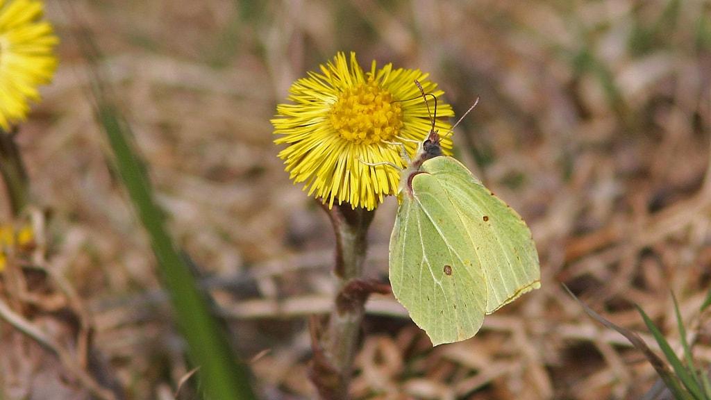 Citronfjäril på tussilago. Foto: Jan Uddén.