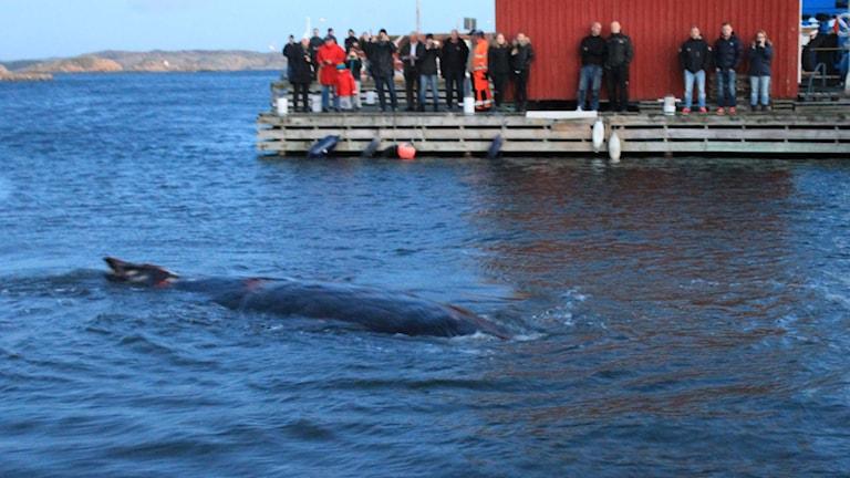 Verletzter Buckelwal in Kungshamn an der Westküste Foto: Jonas Lind/TT