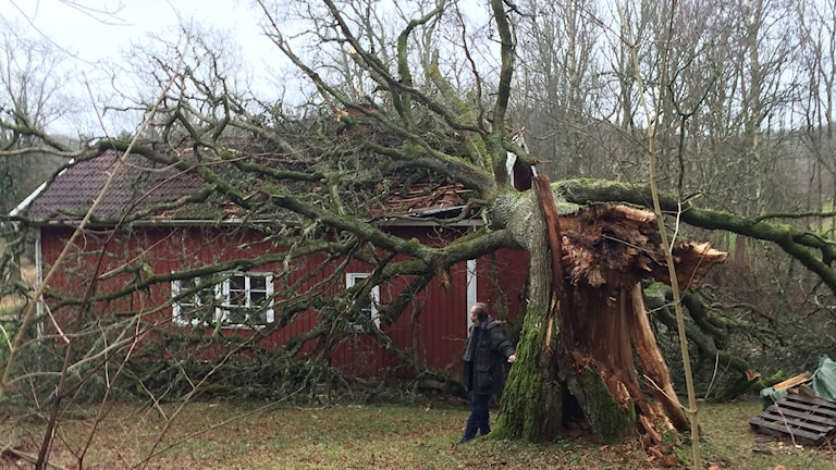 Hans Löwenmark vid grannen hus utanför Brastad, där ett träd fallit över huset. Foto: Oskar Lodin/Sveriges Radio.
