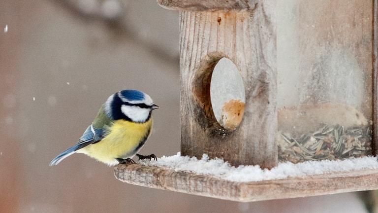 En blåmes på ett fågelbord. Foto: Paul Kleiven/TT.