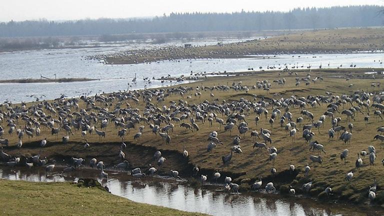 Arkivbild på tranor vid Hornborgarsjön.