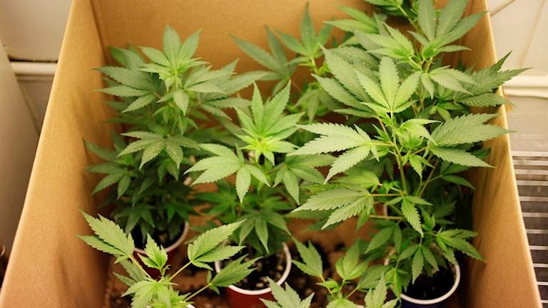 Cannabisplantor i kartong. Foto: Eric Risberg/TT