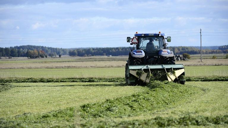 En bonde skördar ensilage med sin traktor. Foto: Fredrik Sandberg/TT.
