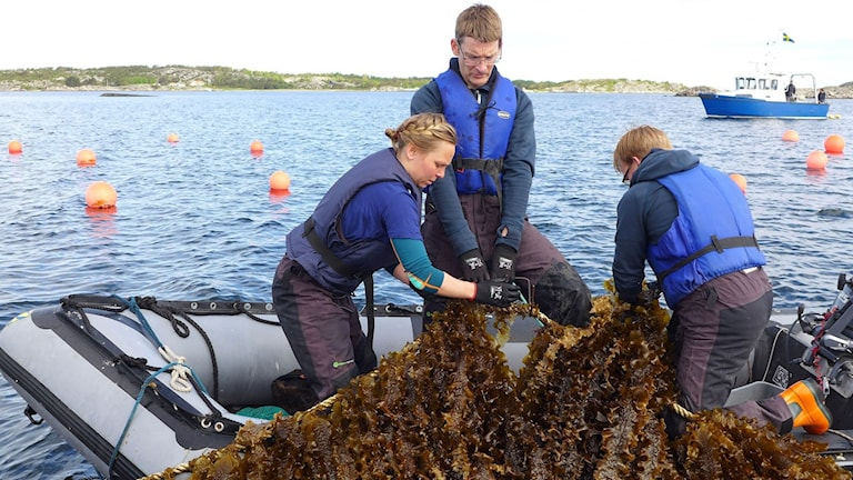 Algenzüchtung (Foto: Fredrik Gröndahl und Roine Karlsson/Seafarm)