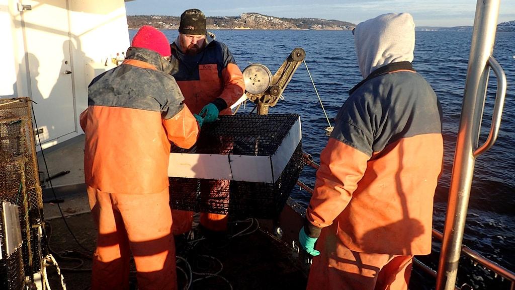 Tre män, däribland Bobo Roysson, tar upp en räkbur ur vattnet i Gullmarsfjorden. Foto: Matz Berggren/Göteborgs Universitet.