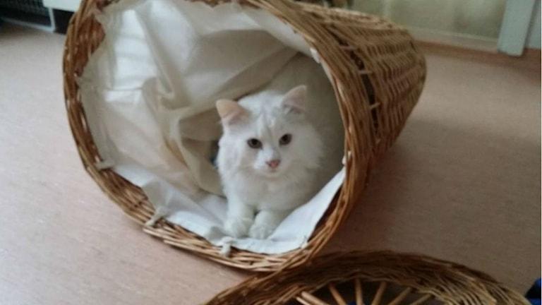 Den storvuxna katten Putte, eller Pudel som han också kallas. Foto: Privat