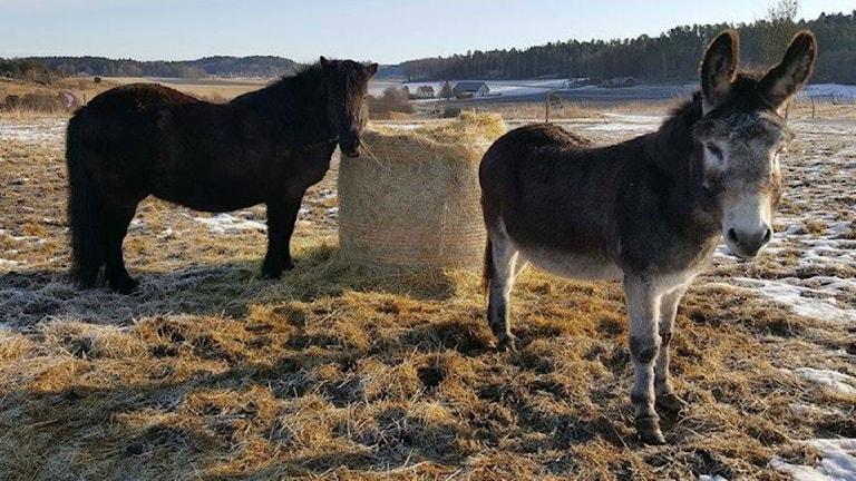Åsnan Bertil tillsammans med Islandshästen Sota. Foto: Åsa Enarsson Harder
