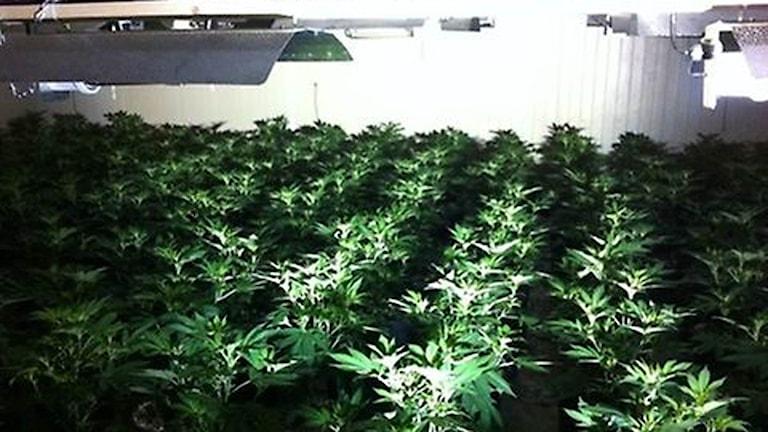 Cannabis Lysekil Skarstad Härva Foto: Polisen