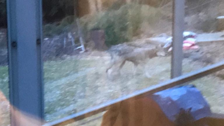 Vargen som Susanne Bryngelsson i Överby, Trollhättan såg utanför sitt fönster_2