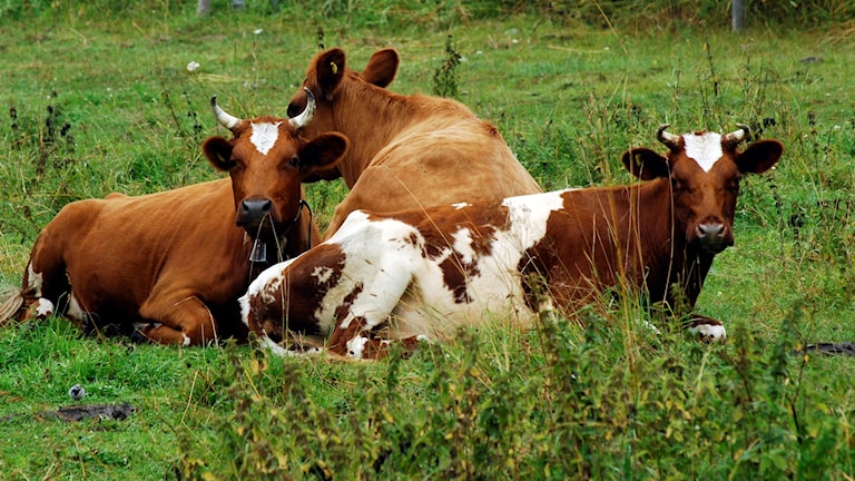Vanliga kor kan bli vilda tror forskare.