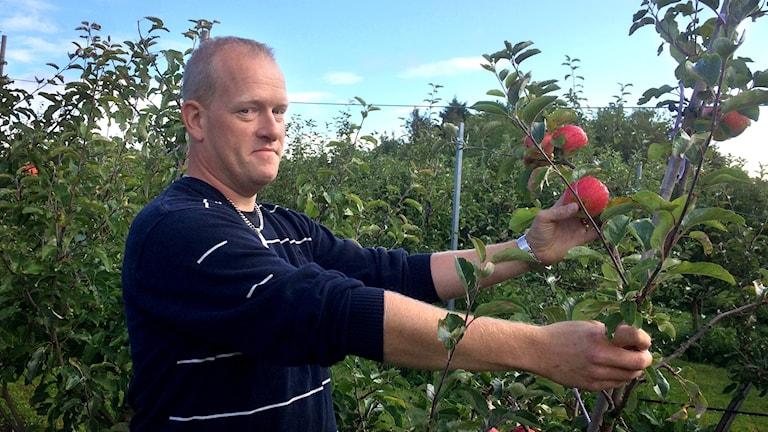 Äppelodlare Martin Persson plockar äpplen.