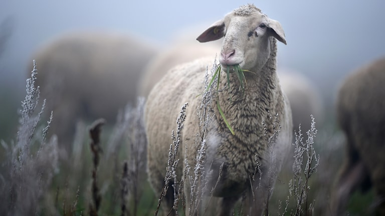 Ett får i ett frostigt landskap. Foto: Felix Ksestle/TT AP
