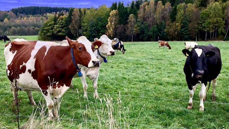 Kor på grönbete. Foto: Jörgen Winkler/Sveriges Radio