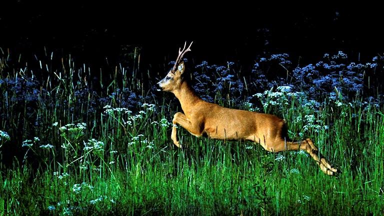 Rådjur som springer över äng med högt grönt gräs.