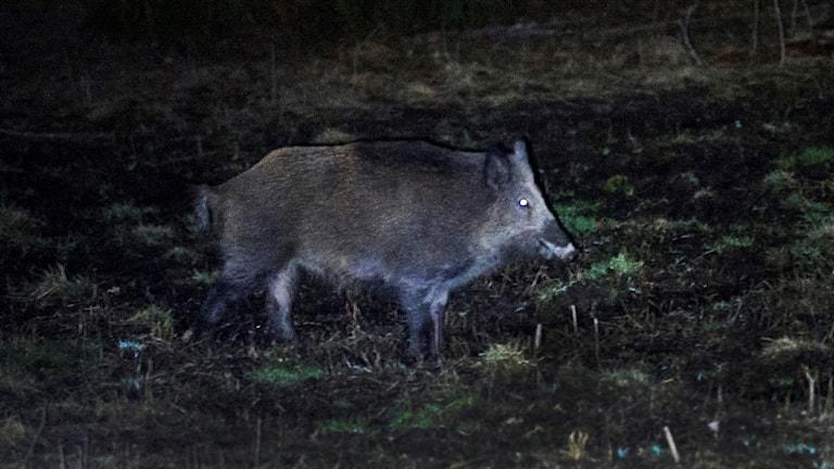 Jakt vildsvin vildsvinsjakt