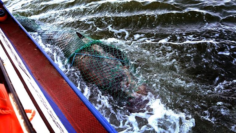 En död grindval i ett nät, bogseras i havet utmed relingen på en båt