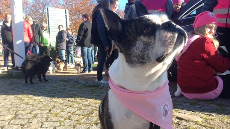 Rosa hundpromenaden 2018