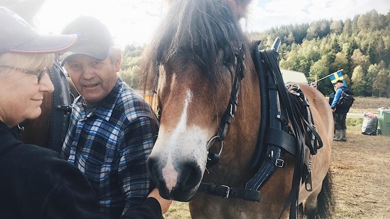Roland Arvidson selar sina hästar inför tävling.